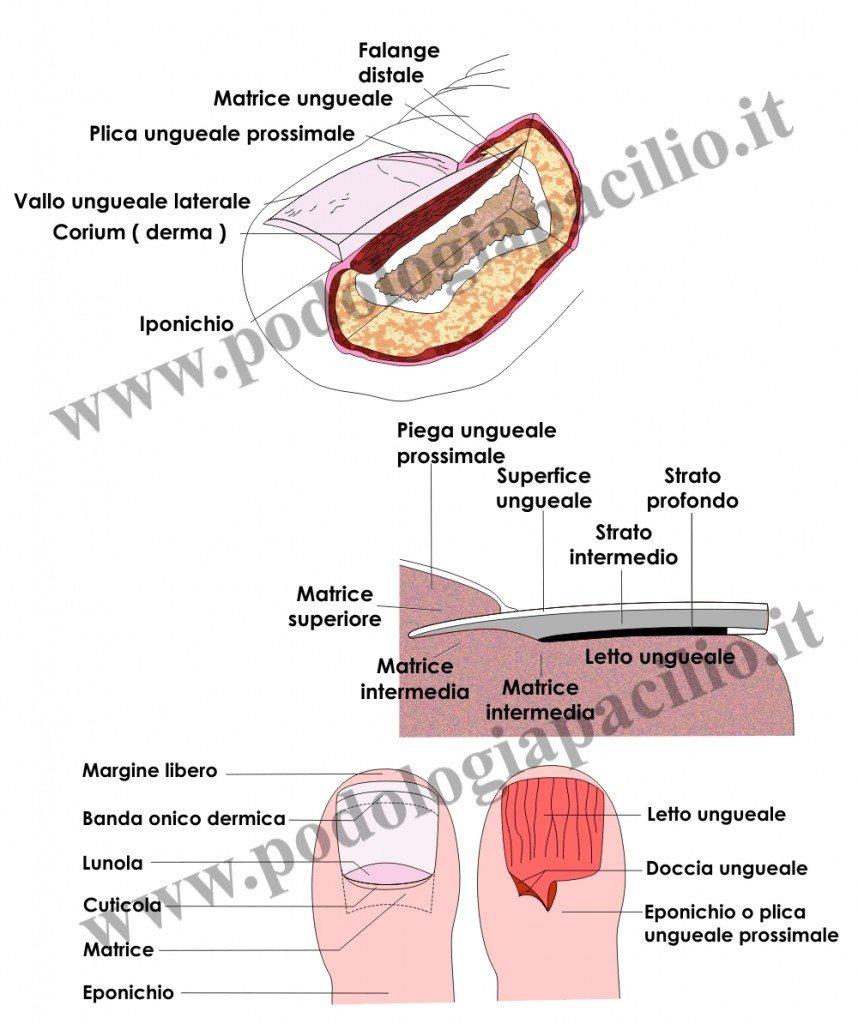 anatomia dell'unghia