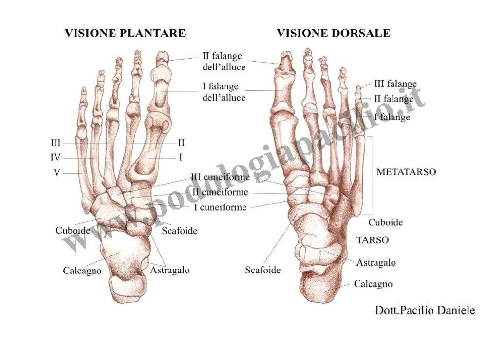 anatomia del piede: ossa